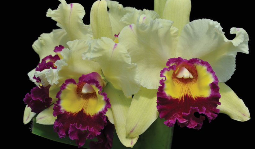 Orchids Wholesale Hawaii Orchids From Hawaii