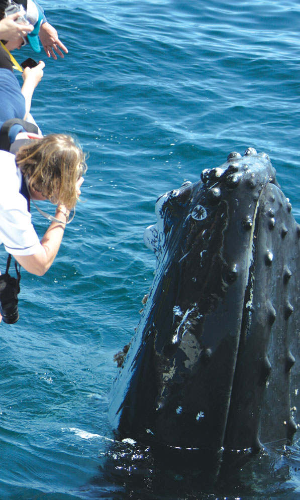 Mauis-Humpback-Whales-2