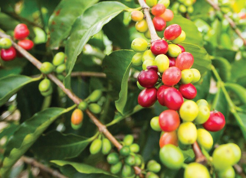 La pianta del Caffé (Parte 1)